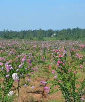 紫薇树植物