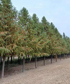 中山杉苗木